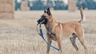 Guard Dog WTF Moments! | Belgian Malinois, German Shepherds and Rottweilers!