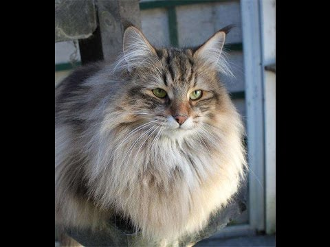 The Best Long Haired Cat Breeds