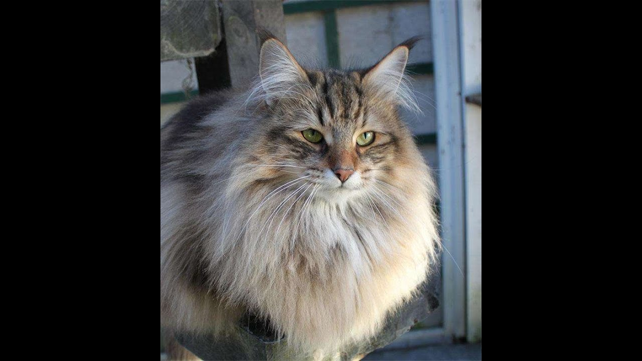 Siberian Forest Cat Vs Maine Coon