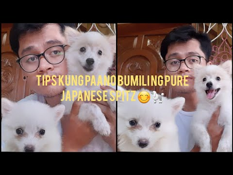 TIPS ON BUYING PURE JAPANESE SPITZ PUPPY