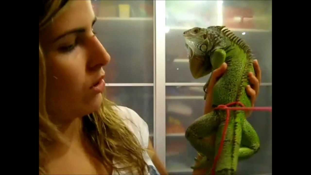 Cmo hacer una correa a nuestra iguana y cmo ponerla  YouTube