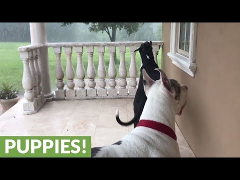 Great Danes enthralled by torrential rain in Florida