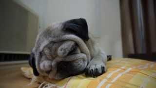 少し太っていた頃のパグです。 寝てる時の顔にお肉のしわが出来ると、少...