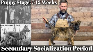 Puppy Developmental Stages: Episode 4 | Secondary Socialization Period (7-12 Weeks)