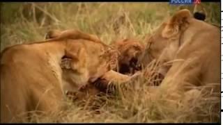 Животный мир. Природа Кении. Прайд львов. Тактика самца. Охота стаи. Обучение львят