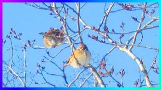 Природа релакс Воробьи зимой Этот прекрасный мир