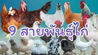 สายพันธุ์ไก่ 9 ชนิด ไก่ไข่ ไก่เนื้อ ไก่ดำ และไก่สวยงาม ที่น่าเลี้ยง by  คำเงินฟาร์ม
