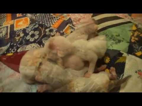 Сегодня | n—256043. Продам котенка россия, москвакорниш рекс. 15000 руб. Корниш-рекс котята, с кудрявой шерстью от титулованных родителей.