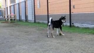 柴犬さくらをドックランに連れていきました。 動画編集ソフト:Filmora.