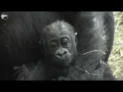 Zoo's baby gorilla is starting to crawl