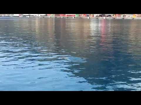 Delfines nadan a la orilla de la ciudad de Santa Cruz de la Palma.