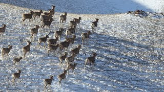 Herd of Argali sheep spotted in northwest China