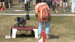 Voltige Cocker Spaniel Manche 1 Agility Cat A