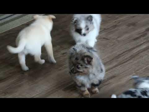Pomchi Puppies For Sale