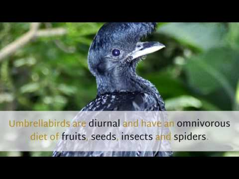 16 Amazing Things You Should Know About Umbrellabird
