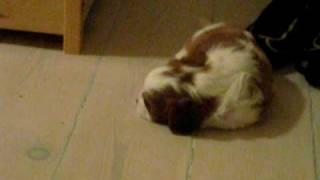 Kennel Funkels Puppies - Cavalier King Charles Spaniel Kennel
