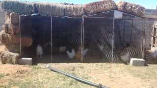 hen farming in house