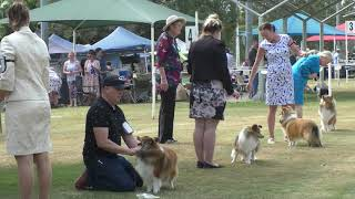 Shetland Sheepdog Show Challenges and In Show Judging