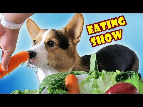 CORGI DOG ANNIHILATES VEGETABLES | MUKBANG ASMR EATING SHOW - Life After College: Ep. 485