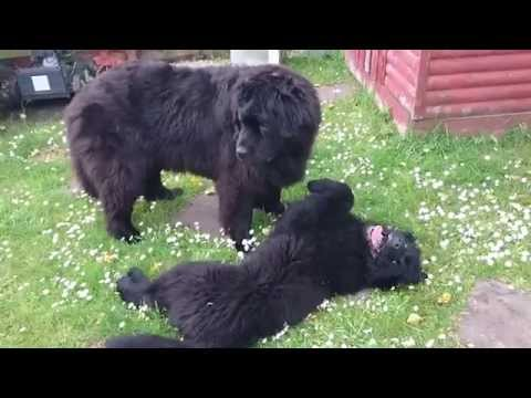 4 months old puppy meets for a first time Big Newfie