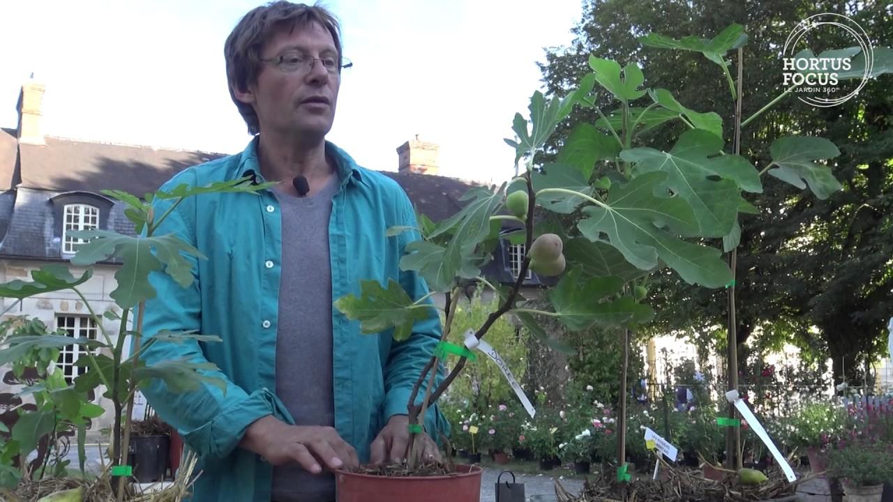 Arbre En Pot Hiver conseil d'experts : 3 figuiers à planter en pot