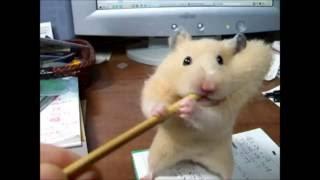 キンちゃん♀です。なぜか耳かき棒がとても気に入ってしまったようで、執...