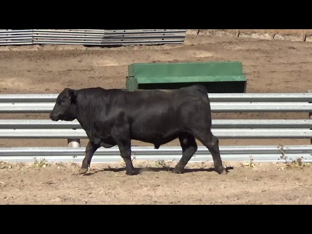 Connealy Angus Lot 187