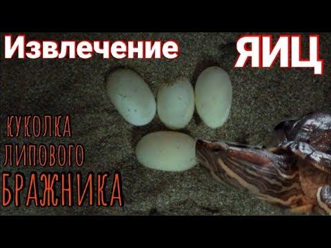 Извлечение яиц красноухой черепахи + куколка липового бражника.