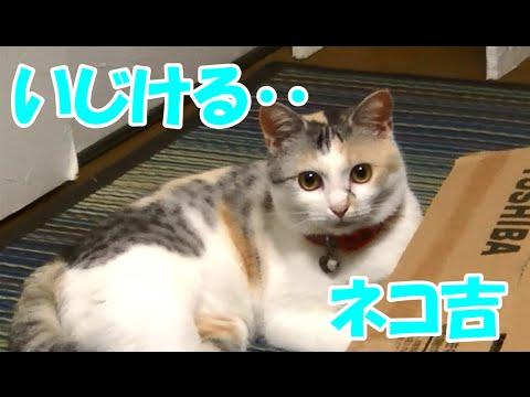 構ってもらえずいじける猫 Cat wants to play with the owner
