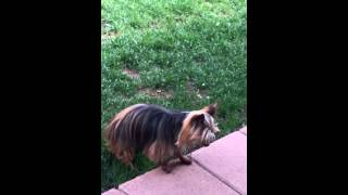 Yorkshire Terrier Loosing Ability To Walk