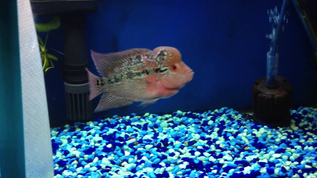male and female red dragon flowerhorn - youtube