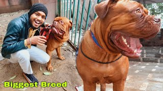 French Mastiff Dogs || Bigest Breed In India