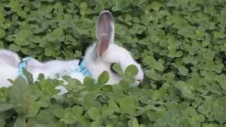 Все О Домашних Животных: Гуляем С Кроликом На Лужайке