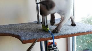 Ориентальный котенок сиамского окраса