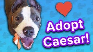 Adopt Caesar! // Pit Bull // Adoptable Featurette