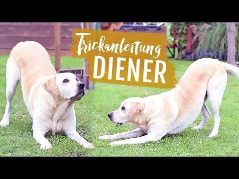 Hund DIENER beibringen   VERBEUGEN Hund Tricks Knicks   Hundetricks