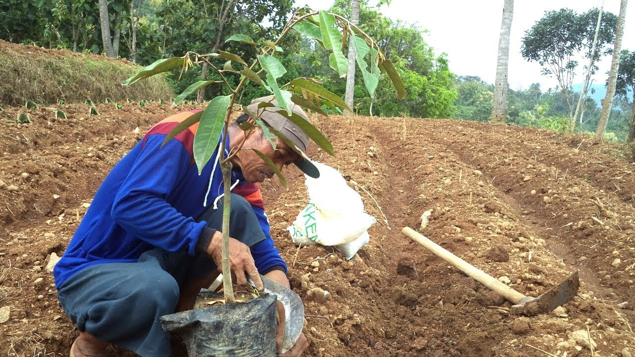 101+ Gambar Tanaman Durian Montong Paling Keren