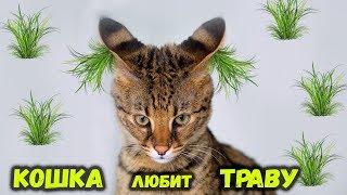 Почему кошки едят траву / Все о кошках/ Тайная жизнь домашних животных
