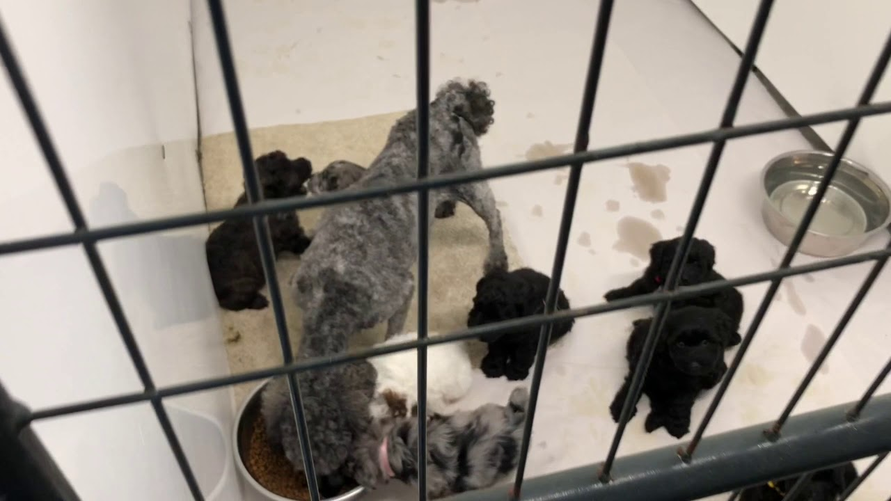 Windy Hill Kennel Schnoodles Mini Schnauzers And Poodles