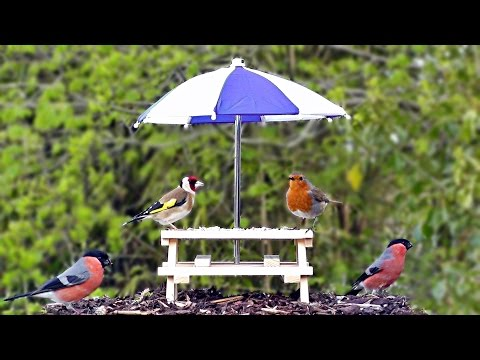 Birds Chirping and Singing at The Tiny Picnic Table - Robin, Goldfinch, Bullfinch & More