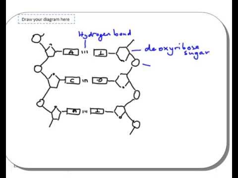 dna structure diagram drawing dna structure diagram with caption