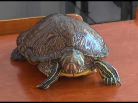 Вопрос: Как долго живут черепахи?