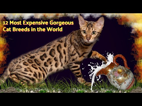 12 Most Expensive Gorgeous Cat Breeds in the World