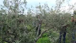 Κιβωτός Σπόρων - Παραγωγικά κλαδέματα ελαιοδέντρων