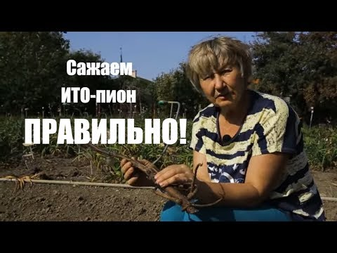 Как посадить ИТО-пион Бартзелла? / Сад Ворошиловой