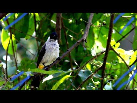 Suara asli burung kutilang gacor....di jamin burung macet jadi gacor