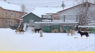 Двухмесячник по отлову бродячих собак объявят в Якутске