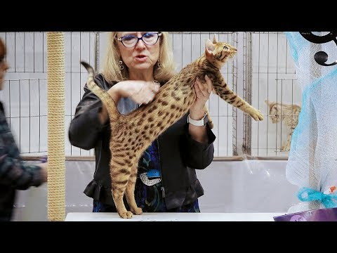 CFA International Show 2018 - Ocicat kitten class judging
