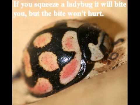Interesting facts about Ladybirds/Ladybugs - YouTube