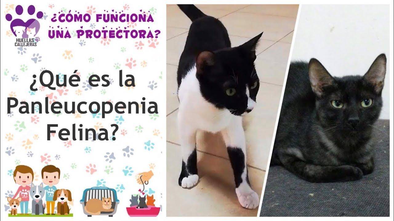 Anemia infecțioasă la pisici - Cum să faci o casă fericită pentru animalele de companie.